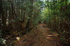 The Aokigahara forest. Photo Credit/ Simon Desmarais- Flickr