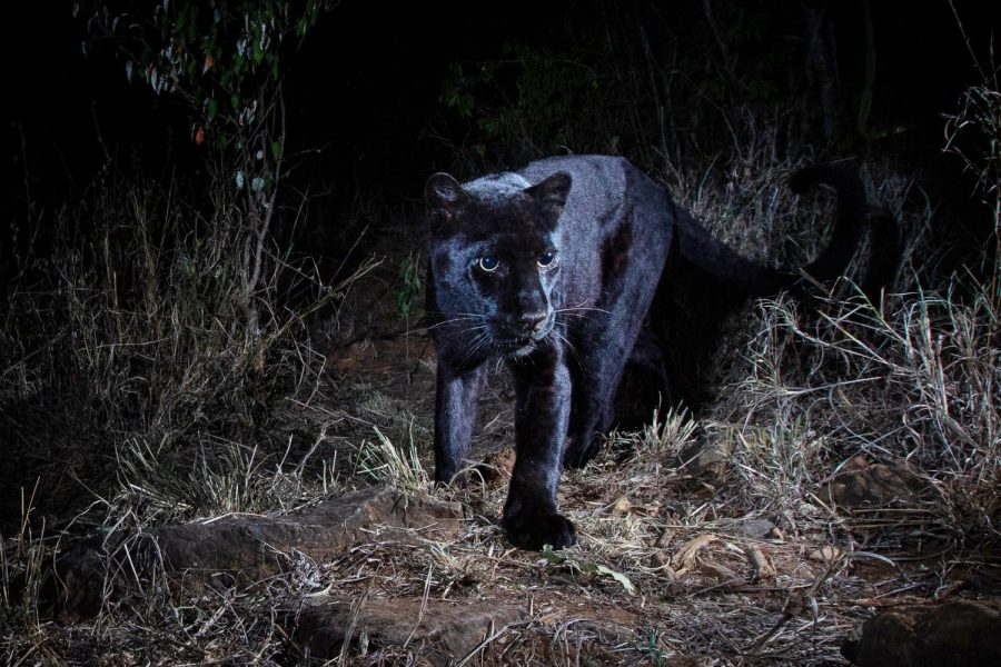 A+photograph+of+a+young+female+black+leopard%2C+spotted+at+the+Laikipia+Wilderness+Camp+in+Kenya.