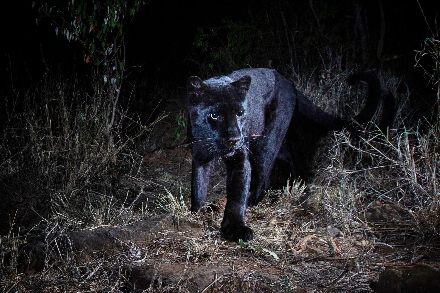 A photograph of a young female black leopard, spotted at the Laikipia Wilderness Camp in Kenya.